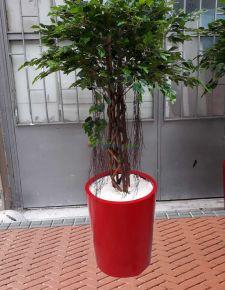 Yapay Burgulu Benjamin ağaç