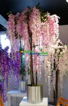 Pembe wisteria ağaç. Pembe akasya