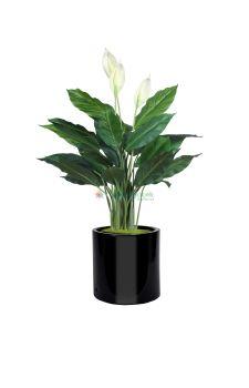 SPATIFILYUM- Barış Çiçeği